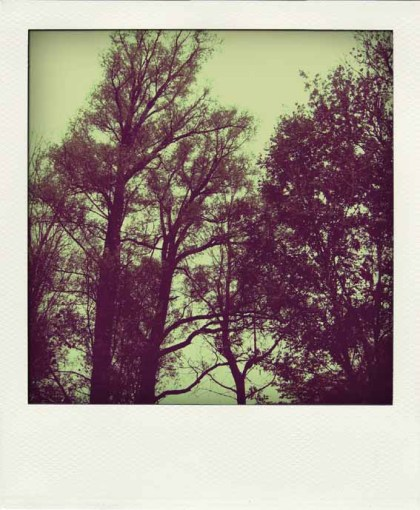 arbrepola1